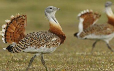 La defensa de las aves esteparias de La Mancha se convierte en documental